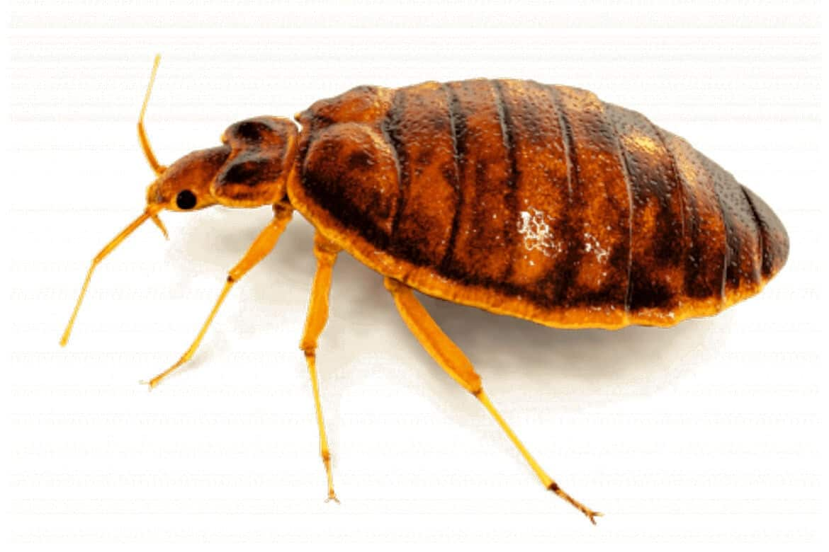 bed bugs sleep trouble